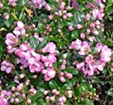 LOT OF 50 ESCALLONIA APPLE BLOSSOM PLANTS IN 9CM POTS QUALITY HEDGING