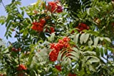 RP Seeds Sorbus aucuparia (Mountain Ash/Rowan) - LARGE PACKET - 100 Seeds