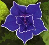 Picotee Blue Morning Glory - 10 Seeds - Easy to Grow!