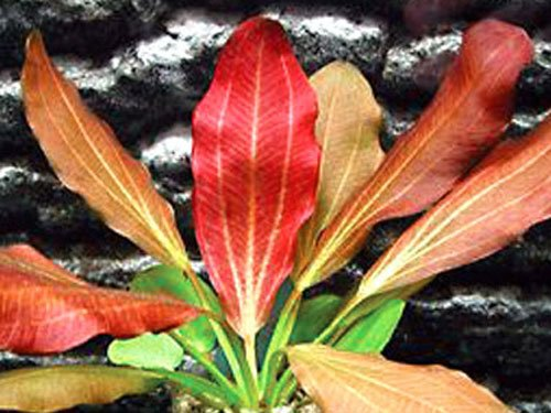 Red Flame Sword - Beginner Tropical Live Aquarium Plant