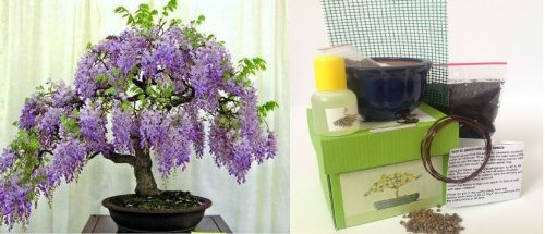 Wisteria Bonsai Kit - CERAMIC Pot/Seeds/Soil/Liquid Fertilizer/Training Wire/Drainage whole cover/Extra Seeds/Gift Tag