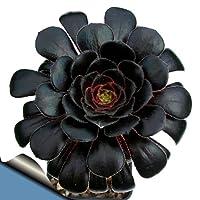Black Rose Tree - Aeonium arboreum - RARE - Easy to grow!