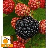 木いちご:大実ブラックベリー トリプルクラウン3.5号ポット