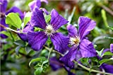 Clematis Viticella 'Polish Spirit' climbing plant, holds RHS garden merit award
