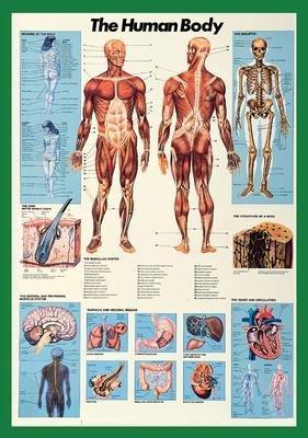 Human Body-Full Color BIG Anatomical Poster 26.75 x 38.5