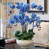 100 Pcs / Pack Free Shipping Phalaenopsis Saplings Bonsai Orchid Seeds Fleur-de-lis Blue Flower Blue Flower Phalaenopsis