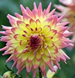 Sea Helado Dahlia Flower Seed Pack