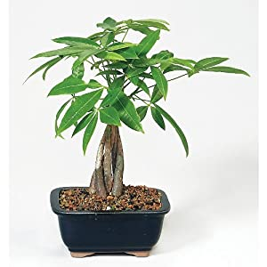Money Tree Bonsai : Live Indoor Bonsai Plants : Grocery & Gourmet Food