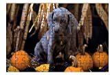 Weimaraner (Pup with Pumpkins)DOG LARGE ...