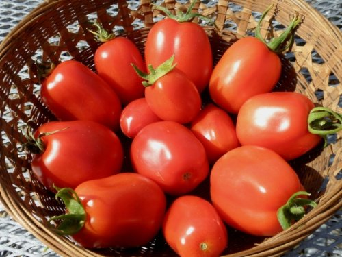 300+ Roma VFN- Heirloom Tomato Seeds