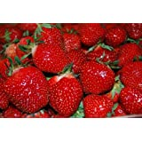 *75+ Seascape Everbearing Strawberry Seeds by Seeds and Things