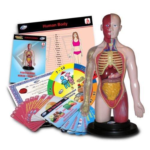 Phil Seltzer Human Torso Anatomical Model