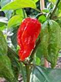 Lawn & Patio - Bhut Jolokia Red 20 Samen (eine der extrem scharfen Chilis der Welt) mit Spitzenwerten von 1.000.000 Scoville