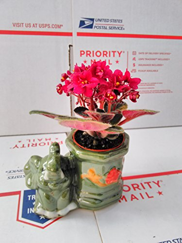 novelty-african-violet-3with-elephant-vase-better-growth-best-blooming-plant-unique-from-jmbamboo