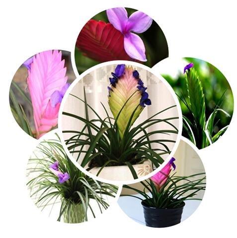 big-sale-100pcs-lot-tillandsia-seeds-potted-seed-flower-seeds-variety-complete-the-budding-rate-95-h