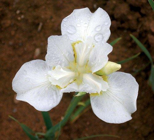 White Swirl Siberian Iris
