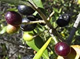 "Olive Tree - Tree of Peace - Olea europaea - 4"" POT"