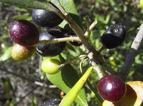 Olive Tree - Tree of Peace - Olea europaea -