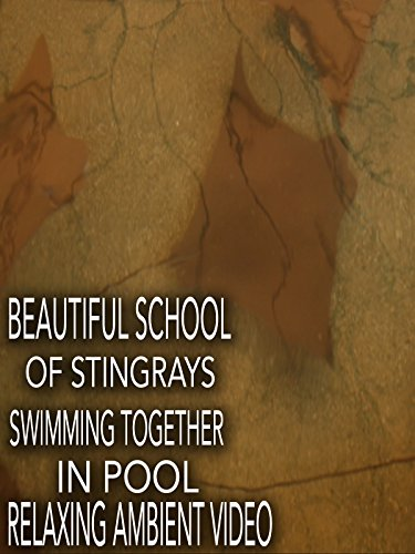 Beautiful School of Stingrays Swimming Together in Pool Relaxing Ambient Video