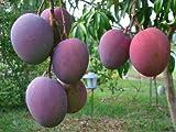 World No1-dwarf mango-sweet- 'julie' 2 live seeds