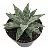 Miami Haworthia Succulent Plant - Easy to Grow/Low Maintenance - 4