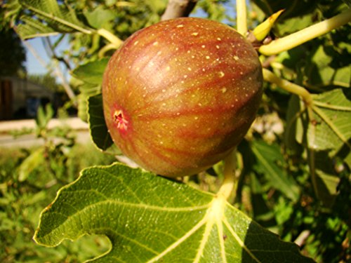 partenocarpic-fig-tree-fruits-well-in-britain-ficus-carica-signora-large-pink-violet-fruits-very-col