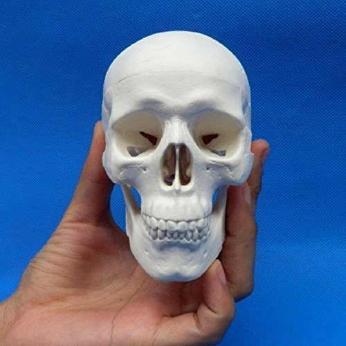 Skeleton model mini jaw joint movable type interior dental Department of Otolaryngology, ophthalmology head school teaching small skull prop skull skull skull skeleton bones