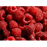 Hilton Raspberry Fruit Plant Seed 100 Stratisfied Berry Plant Seeds