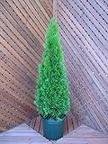 エメラルドグリーン80cm(コニファー) ~グリーン系コニファーの定番!クリスマスツリーにも~