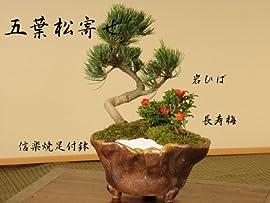 盆栽:五葉松寄せC