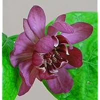 'Hartlage Wine' Sweetshrub - Calycanthus - Fragrant! - 4