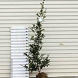 庭木:サザンカ(さざんか)(富士の峰) 樹高:約100cm 全高:約120cm