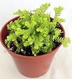 "Golden Spike Fern Club - Selaginella - 2.5"" Pot - Terrarium/Fairy Garden"
