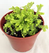 "Golden Spike Fern Club Moss Plant – Selaginella – Exotic – 2.5"" Pot"