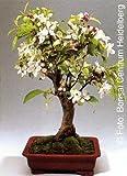 Tropica - Bonsai - Zierapfel - 30 Samen