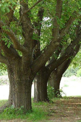 morus-alba-white-mulberry-tree-sent-in-9cm-pot