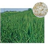 [寒地型グランドカバーの草タネ 春・秋まき 法面緑化・牧草用]チモシー(普通種) 1kg入り