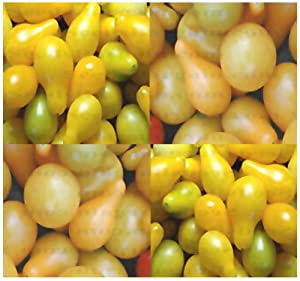 1 oz (14,000+ seeds) YELLOW PEAR TOMATO Tomato seeds HEIRLOOM SINCE The 17th CENTURY 1 oz Fruits