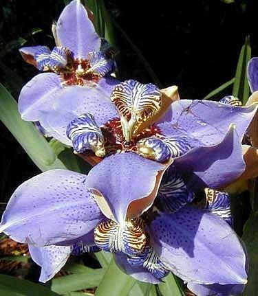Blue Walking Iris