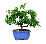 Brussels DT0107G Gardenia Outdoor Bonsai Tree