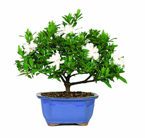 Brussels DT0107G Gardenia Outdoor Bonsai Tree