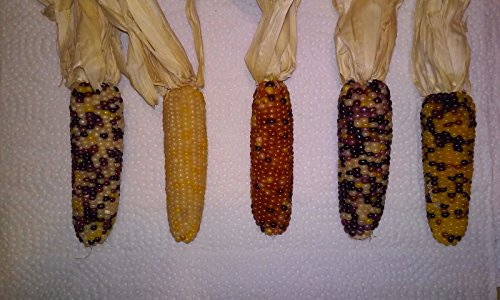 Mini Indian Corn 3-5 Inches (3 Ears) with Husks (Miniature Corn compare prices)