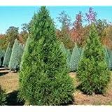 Radicans Cryptomeria Tree ( japanese cedar ) - Live Plant - 4 Inch Pot