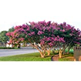 4 Pack - Tuscarora Pink Flowering Crape Myrtle Trees - Quart Pot - Approx. 1 foot tall (Color: Pink)