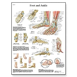 3B Scientific VR1176UU Glossy Paper Foot and Joints of Foot Chart - Anatomy and Pathology, Poster Size 20\