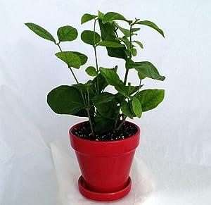 hirt 39 s arabian tea jasmine plant maid of orleans 4. Black Bedroom Furniture Sets. Home Design Ideas
