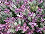 6 PACK (9CM Pots) Hebe Red Edge Garden, Edging & Container Ground Cover Shrub Plant Lilac Blue Flowers