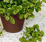 Vegetable - Salad - Cress American / Land - 7000 Seed
