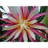 "St. Anthonys Rick Rak Cactus - Cryptocereus anthonyanus - 4"" Pot"