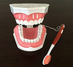 Doc.Royal Adult Dental Teeth Model and Toothbrush with Removable Lower Teeth Teaching Model